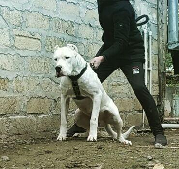 adlı - Azərbaycan: Dogo argentino 2yaw-2ayindadir ter temiz sirf dogo argentinanin ozudur