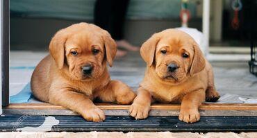 Osupljivi mladiči labradorca, registrirani v Kc.Tu imamo na voljo
