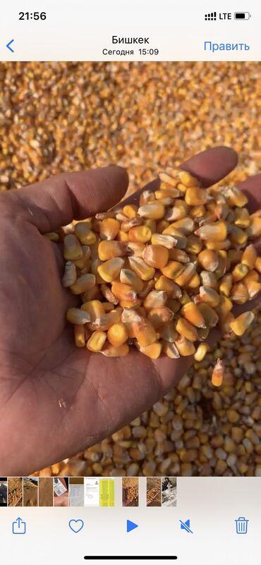 Кукуруза в зерне сухая влажность 14 % 40 тонн сорт пионер