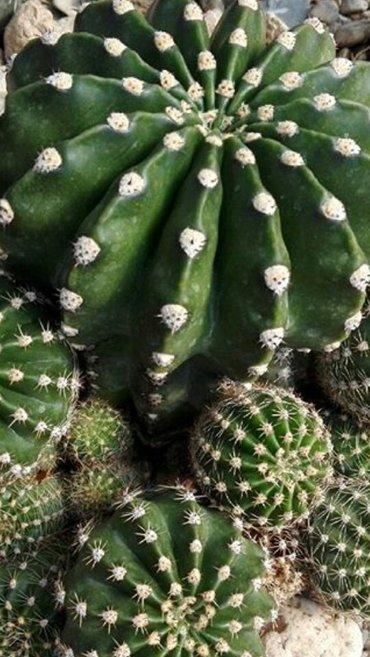 Xırdalan şəhərində Kaktuslar