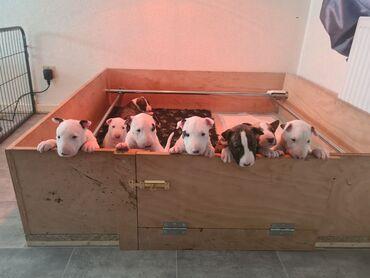 Αγγλικά Bull Terrier κουτάβια για υιοθεσίαΑγγλικά Bull Terrier