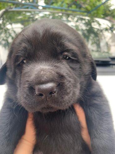Labrador retriever erkek satilir. 1,5ayliq. Ana,Ata şekili var etraflı