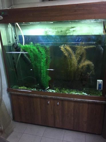 Продаю аквариум с тумбой,емкость 500 литров,габариты 138мм