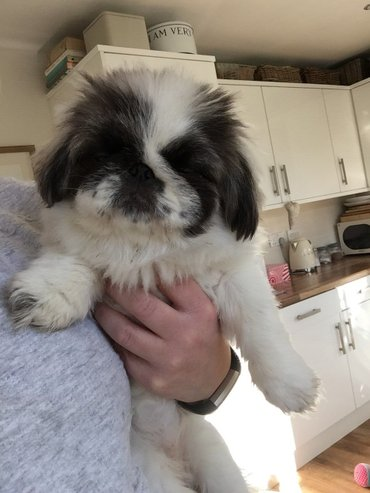 Kc registered pekingese Available due to a ladies change in family - Boljevac