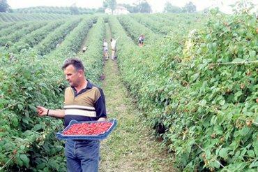 Berba malina - Srbija: Potrebni radnici za berbu malina u okolini Arilja.Obezbedjen smestaj i