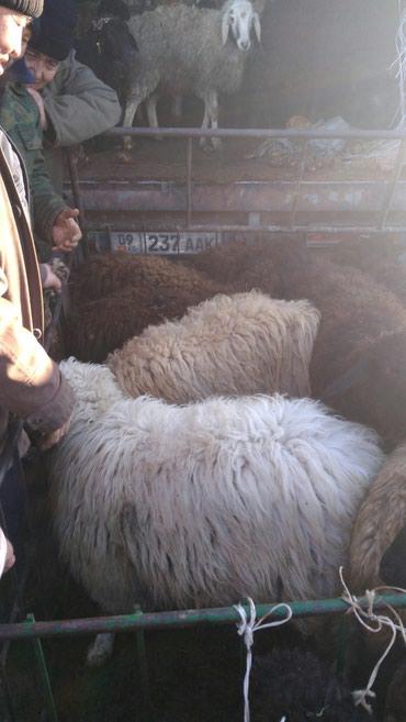 Срочно козу алам оптом в Шопоков