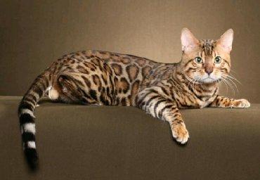 бенгальская кошка домашняя в Кыргызстан: Бенгальские кошки это не роскошь это срецтво любви заботы при этом