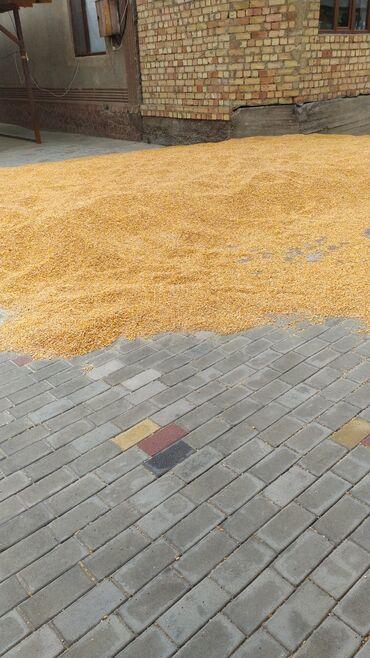 72 объявлений | ЖИВОТНЫЕ: Продаю рушенную кукурузу сокулуке сорт тянь шань 7:8 тонн
