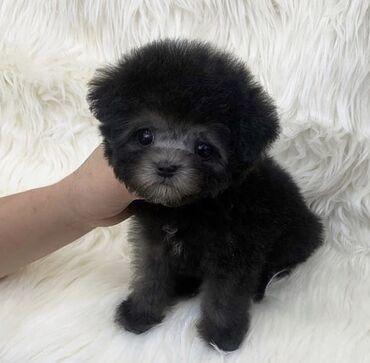 Adorable Mini, Toy Maltipoo, Cavapoo, Cockapoo, Maltese, Pomeranian
