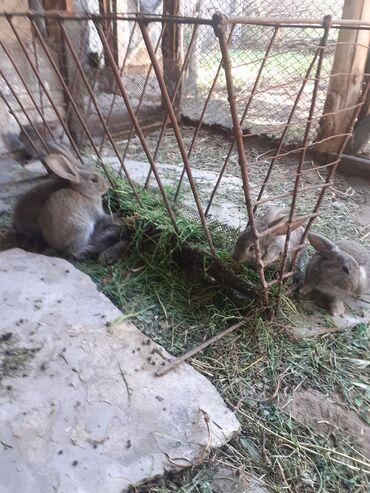 Декоративные кролики - Кыргызстан: Кролятадва месяца