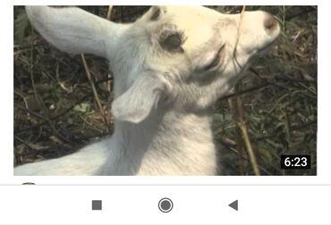 Куплю козу дойную - Кыргызстан: Куплю   Козы, козлы   Любое состояние
