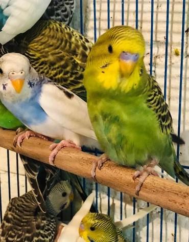 Птицы - Кыргызстан: Волнистые попугайчики разных цветов хорошо приручаются к рукам и разго