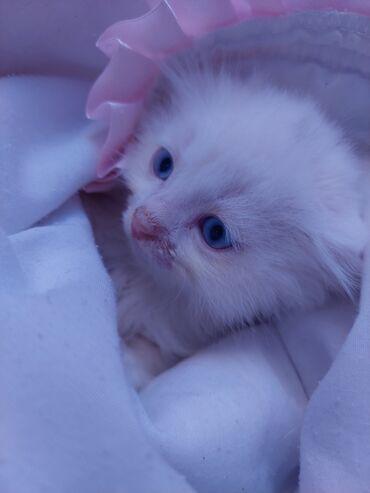 16 elan | HEYVANLAR: Şotlant pişik balası. Ağ, mavi göz, qulaqı sallaq. Peyvəndləri