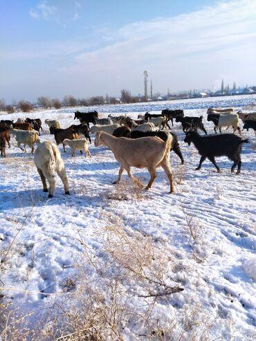животн в Кыргызстан: Продаю доеных коз разные породы в декабре окотятся