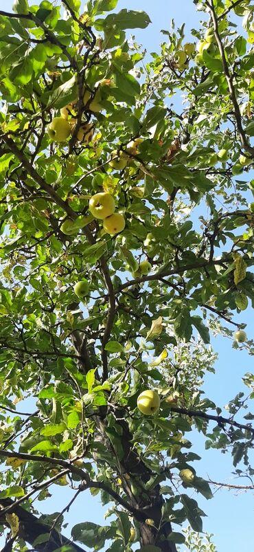 64 объявлений: Яблоки голден