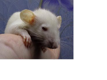 Крысы в Кыргызстан: Крыски декоративные  возраст от 3-х недель.  цена 3