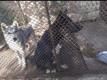 Хаски Хотелось бы продать побыстрее если вас интересует эти собаки