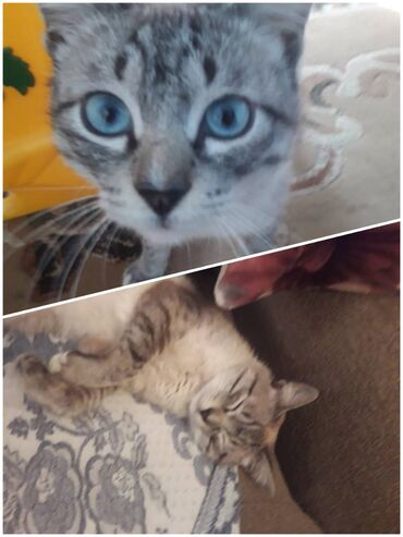 Найден кот на пересечении т.молдо/ Щербакова. Срочно ищем старых или