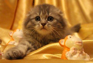 шотландский страйт в Азербайджан: Шотландские котята, страйт и фолд. Родились 22 февраля. Мама-мраморная