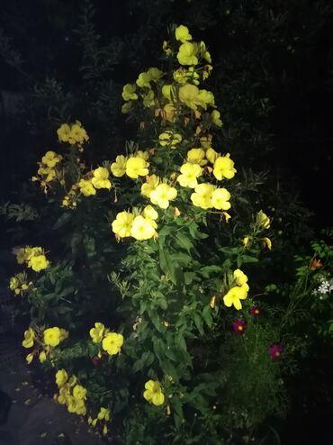 для невесты в Кыргызстан: Ночной красивый и ароматный многолетний цветок Энотера. Распускается