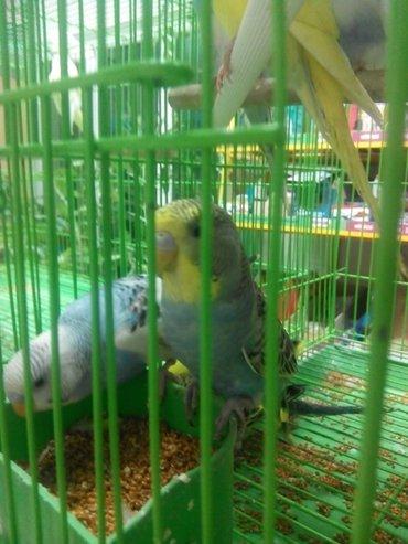 Волнистые попугаи разных окрасов в Сокулук