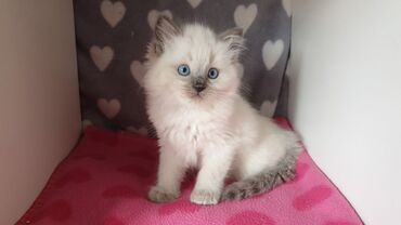 Ragdoll Kittens έτοιμα τώραViber (+)Η όμορφη μου γάτα Seal Point