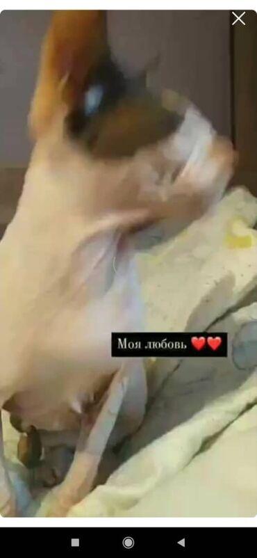 ищу кошку в Кыргызстан: Продаю кошку сфинкса Девочка, очень ласковая и спокойная Цена:3000