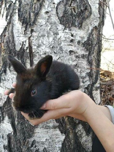 Кролики в Бает: Кролики породы Полтавское Серебро, 300 сом - 1 месяц жизни. Могу по
