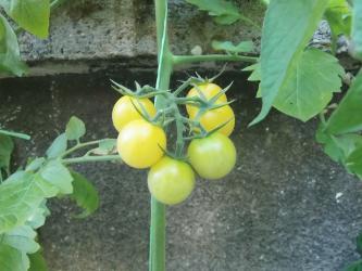 Na prodaju 10 semenki žutog cheryy paradaiza ( Golden nugget cherry - Uzice