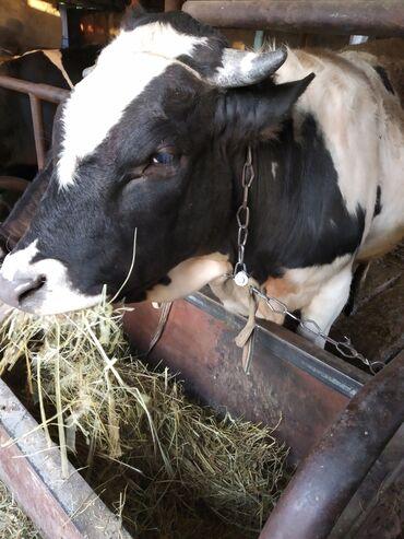 Животные - Чат Кёль: Продаю | Бык (самец) | Голштин | Для разведения | Племенные