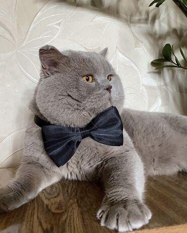 Коты - Кыргызстан: Вязка!!!  Шикарный Шотландец Скоттиш Страйт открыт для вязки.  Любвеоб