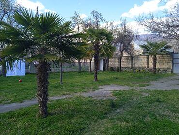 Otaq bitkiləri - Azərbaycan: Palma 2si 2 metra biri 3 metra