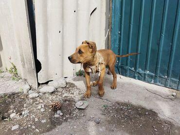 Продаю собаку порода пидбуль прошу 4500 сом или меняю на азиат в