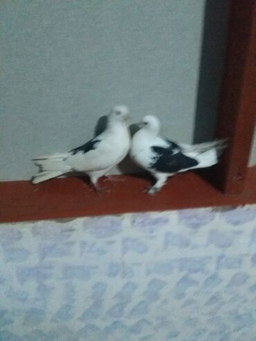 Животные - Саатлы: Птицы