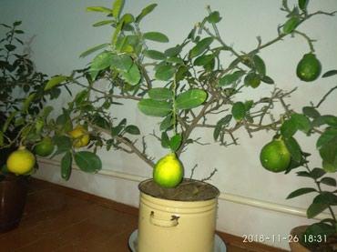 Лимон домашний, более 15 лет, лимонов много и крупные в Бишкек