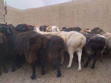 Продаю   Овца (самка), Баран (самец)   На забой, Для разведения
