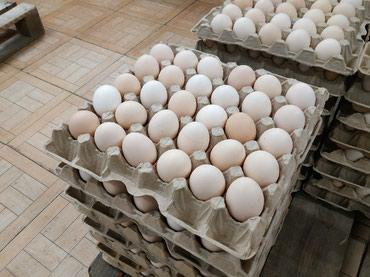 Яйца домашнии кремовые по самым в Бишкек