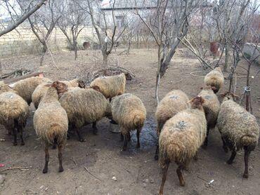 qaz balasi nece gune cixir - Azərbaycan: 19 qoyun, 1 qoc, 14 quzu, qoyunlardan biri de bir nece gune dogacaq. Q