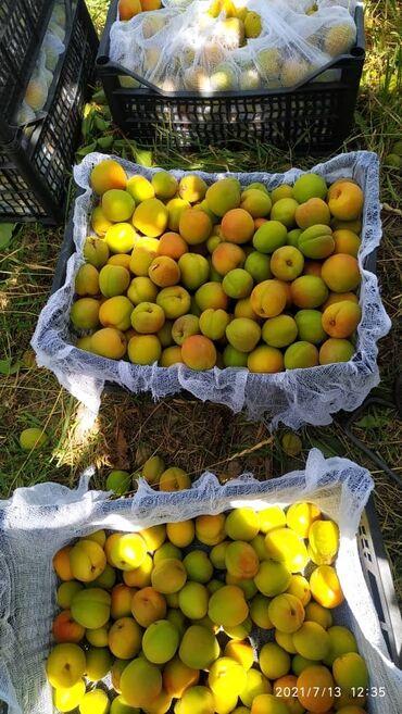 элевит 1 триместр цена бишкек в Кыргызстан: Абрикос. Ыссык-Кульские абрикосы .Южный берег. Загатовим фуру за 1-2