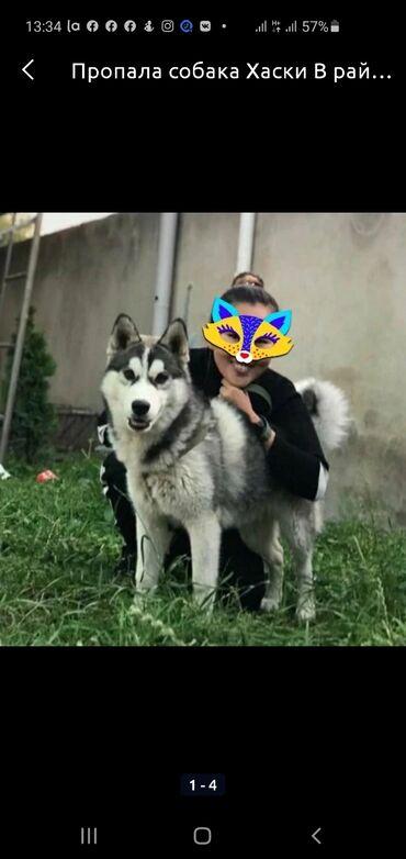 пропала собака хаски в Кыргызстан: Пропала собака Хаски,В районе Кызыл АскерКабель 8 месяца,Просьба