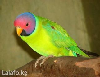 Сливоголовые попугаи в Кок-Ой