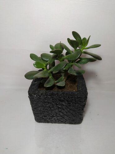 Otaq bitkiləri Xırdalanda: Pul agaci - Krassula Hundurluyu 25 sm Qiymeti 10 Azn dibcekle (dekor e