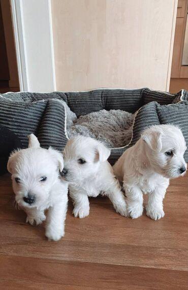 Πωλούνται κουτάβια West Highland TerrierΈχουμε κουτάβια West Highland