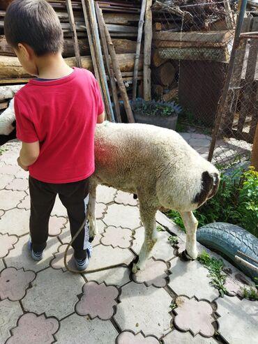 Животные - Гульча: Продаю кочкора 6 месяц прошу 17 000сом