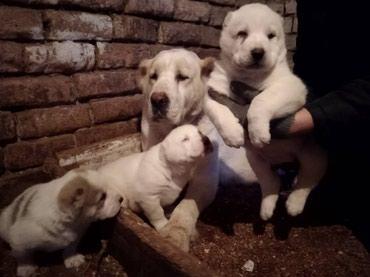 Продаю щенков Алабая! С родословной и в Бишкек