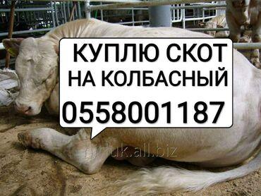 Животные - Кара-Балта: Куплю скот на забой в колбасный цех.дорого