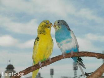 Волнистые попугайчики в Кок-Ой