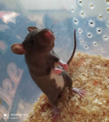 Крысы - Кыргызстан: Продается декоративная крыса. Самец 2,5 месяца . Черный с белым