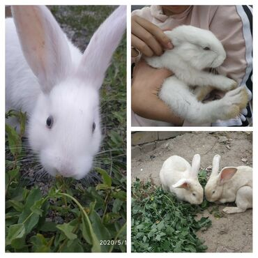 Декоративные кролики - Кыргызстан: Колики ( 2-- мальчика) возраст 1 год. Цена за одного