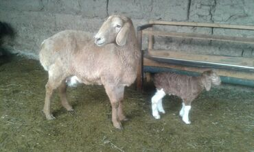 Продаю | Овца (самка) | Гиссарская | Для разведения | Матка